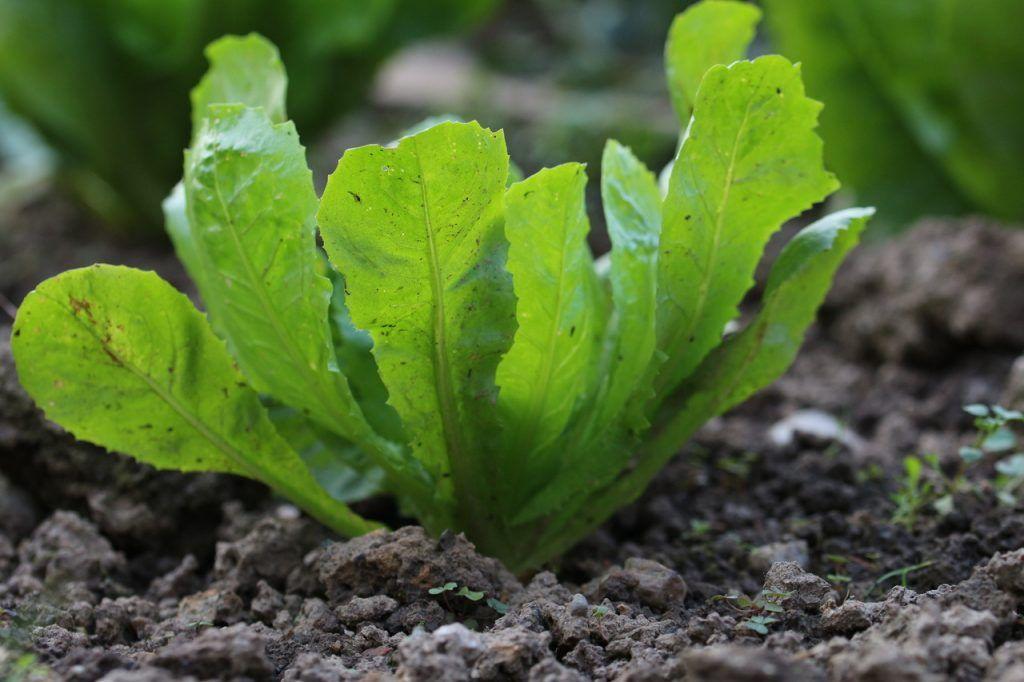 Sujetbild: Salat, der aus der Erde wächst.